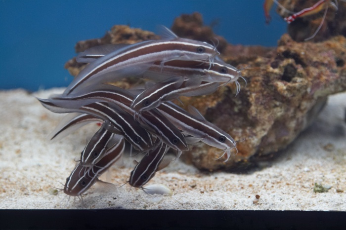 Plotosus lineatus.jpg