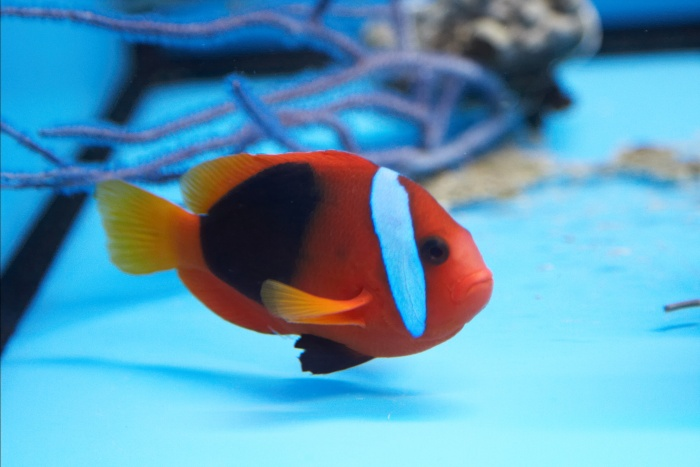 Amphiprion frenatus.2.jpg