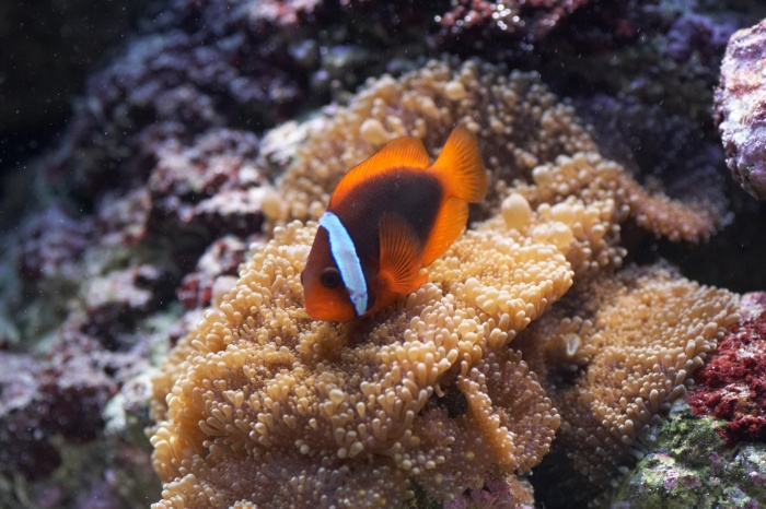 Amphiprion frenatus.jpg
