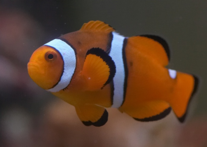 Amphiprion ocellaris.10.jpg