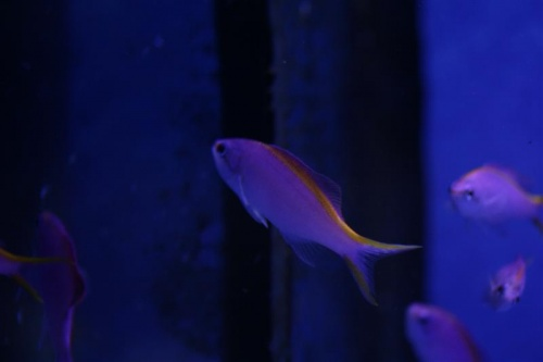 Anthias Tuka2 (Medium).jpg